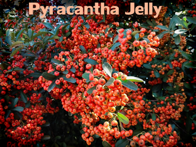 pyracantha berries firethorn in autumn fall jelly