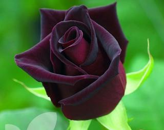 mawar Baccara hitam