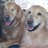 This Blind Golden Retriever And His Guide Dog Best Friend Are Warming People's Hearts