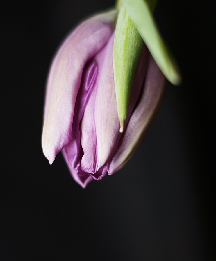 Blog + Fotografie by it's me! - fim.works - lilafarbene Tulpe