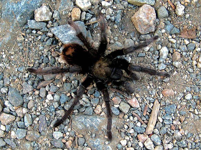 You usually won't see tarantulas in the daytime. They come out to hunt near dusk.