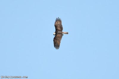 Vista superior de l'àguila pescadora