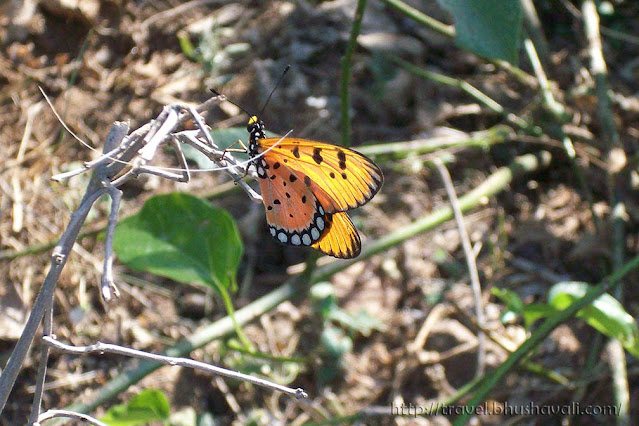Monarch butterfly in Perugamani, Tamil Nadu, India
