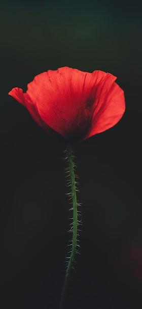 خلفية وردة شقائق النعمان الحمراء بخلفية سوداء قاتمة