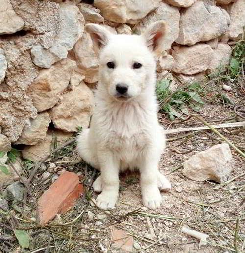 cachorro cruce samoyedo
