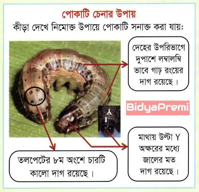 কিভাবে বিধ্বংসী পােকা ফল আর্মিওয়ার্মের আক্রমণ মোকাবিলা করবেন ? How to defeat with armyworm ?
