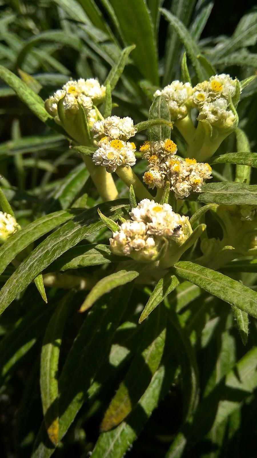 Edelweis Bunga Abadi Di Lereng Bromo Kabarbromo Com