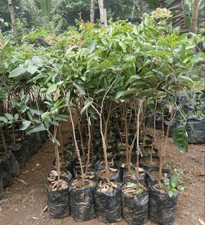 bibit-kelengkeng-aroma-durian-murah.jpg