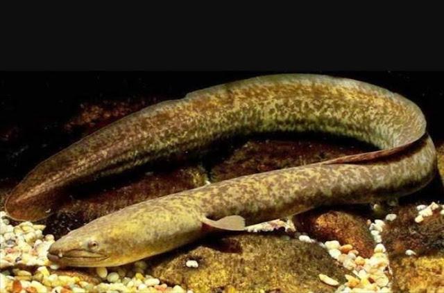 Ikan Sidat menjadi buruan warga Jepang