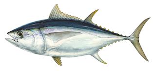 Tuna Mata Besar