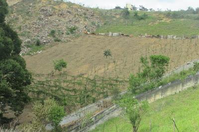 Itiruçu: Arvore centenária ameaça por queimada no Beija-flor