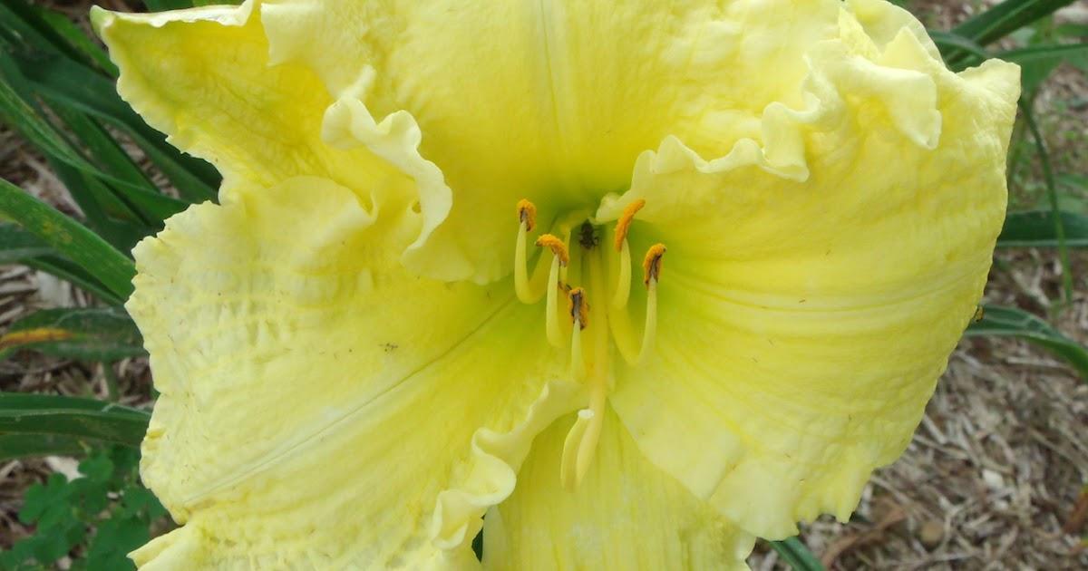 Sun Dragon Daylilies Blog: Brocaded Gown