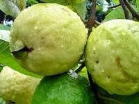Tips Menanam dan Merawat Pohon Jambu Biji Agar Berbuah Lebat
