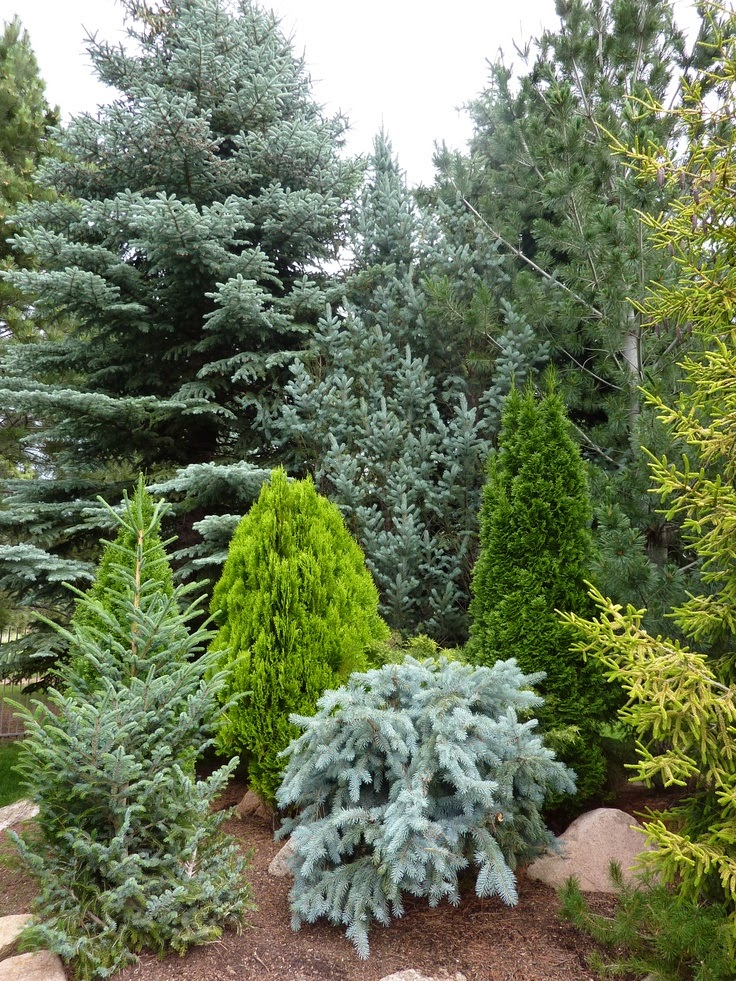 first conifers - photo #32