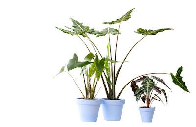 Jenis tanaman alocasia bira untuk taman kering