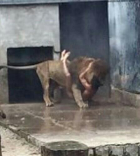 Aksi Nekat Pria  Loncat ke Kandang Kawanan Singa,Seakan Menantang Untuk Duel