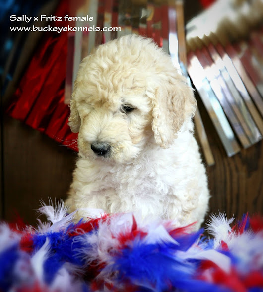 F1b puppies ready for homes// Sally x Fritz
