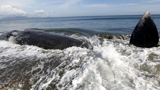 Δεκάδες φάλαινες έχουν εξωκείλει σε νησί της Αυστραλίας - Επιχείρηση διάσωσης (βίντεο)