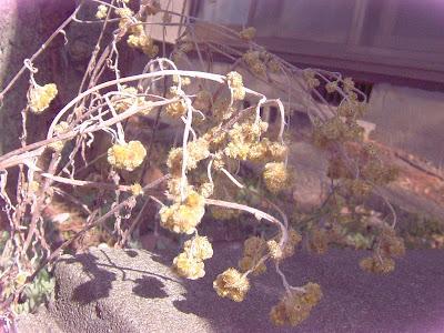 Bunga Edelweis di halaman rumahku