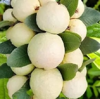 37 Benefits of Eating Guava Amrood And 8 Natural Home Remedies