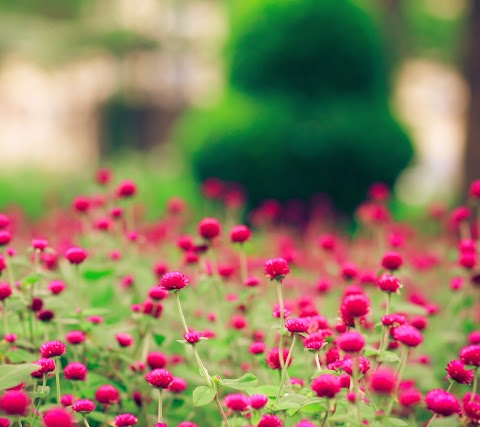 Nụ Hoa Nhỏ Màu Hồng