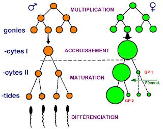 Les trois phases de la gamétogenèse