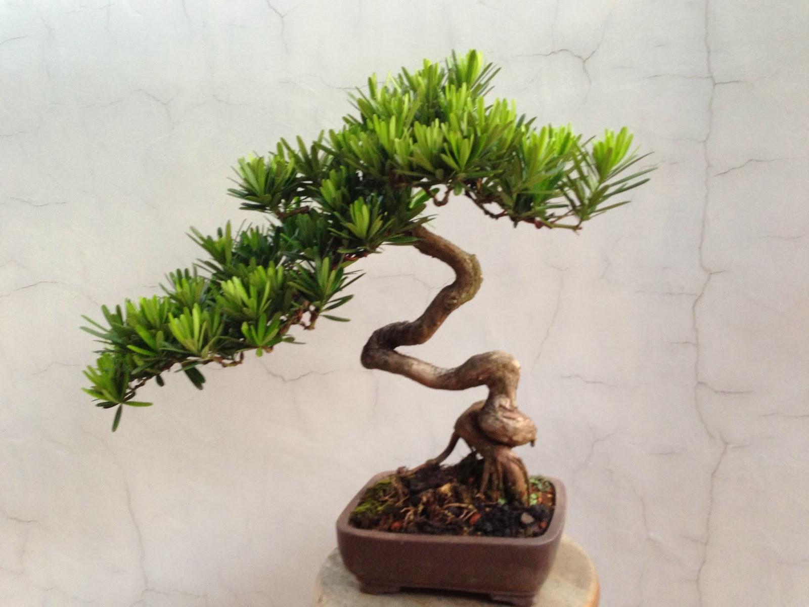 Flamboyant Bonsai Tree For Sale Bonsai Tree