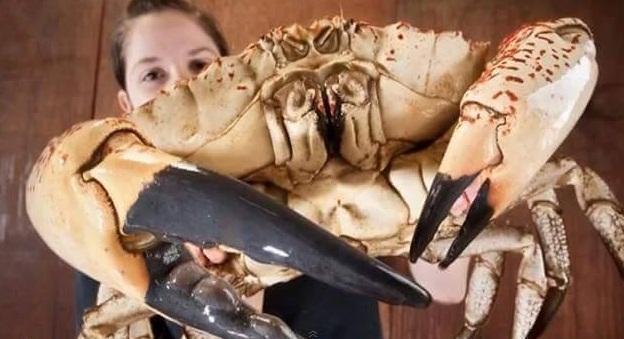 kepiting terbesar di dunia