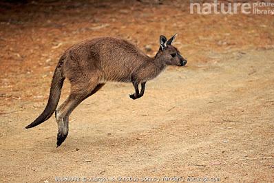 Kangaroos world