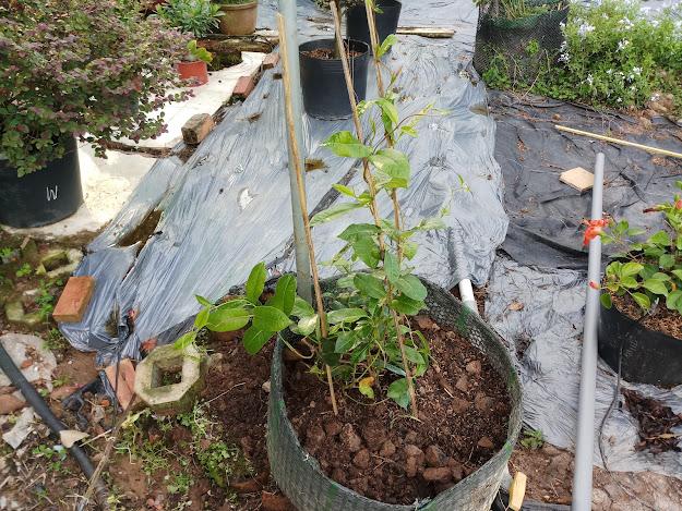 Huỳnh anh đỏ sau khi được trồng trong bồn làm bằng nhựa đen có lỗ thoát nước.