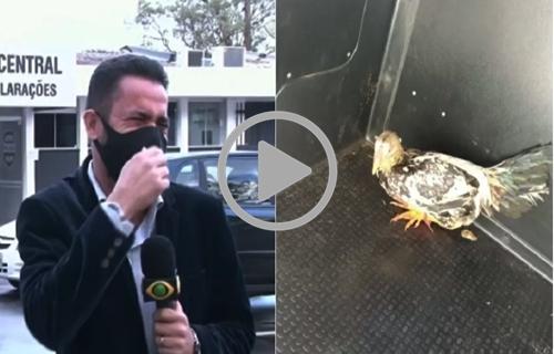 VÍDEO: repórter tem crise de riso ao noticiar 'prisão' de galo