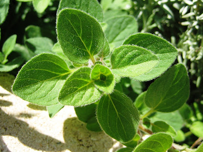 What is oregano?
