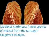https://sciencythoughts.blogspot.com/2019/10/modiolus-cimbricus-new-species-of.html