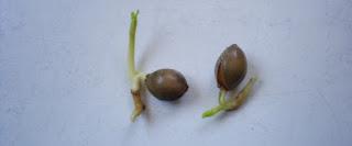 Semillas de gingko biloba germinadas