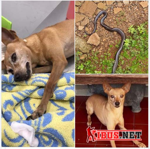 Anjing Minipicher Vs ular kobra