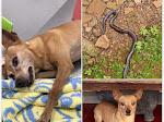 Kisah Viral Anjing Jenis Minipicher Akhirnya Mati Bertarung Dengan Ular Kobra
