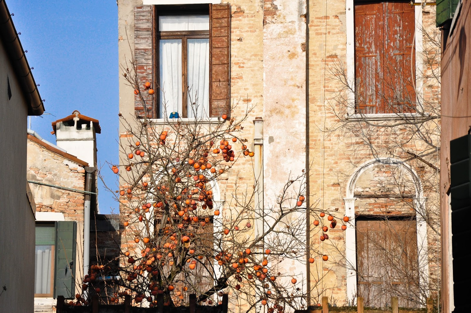 Persimmon tree, Venice, Italy