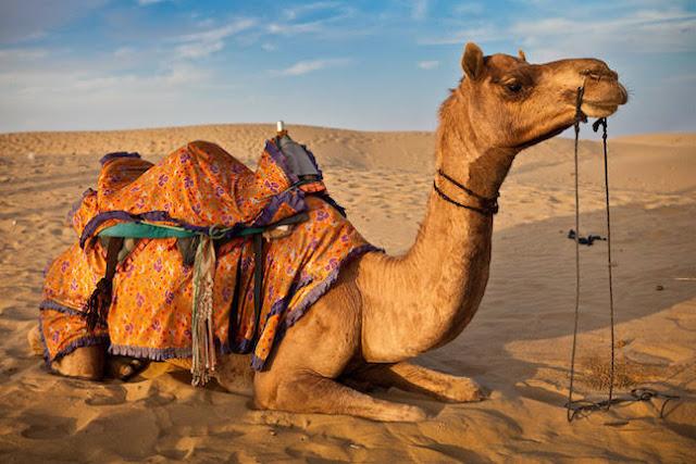 camel on rajstan (santalivideos.com)camel on rajstan (santalivideos.com)camel on rajstan (santalivideos.com)camel on rajstan (santalivideos.com)