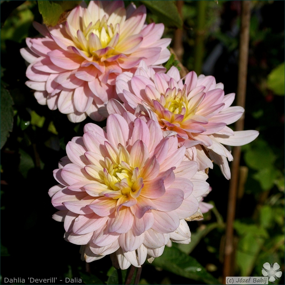 Dahlia 'Deverill' - Dalia 'Deverill'