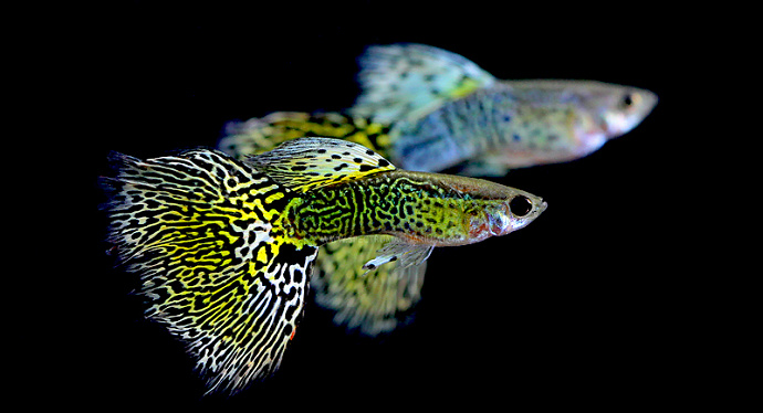 Penyebab Ikan Gupyp Cepat Mati - Ikanhiasku