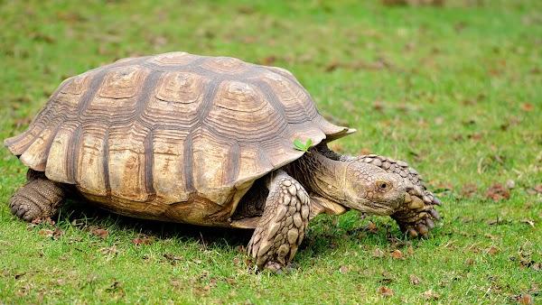 African Spurred Tortoise Geochelone sulcata