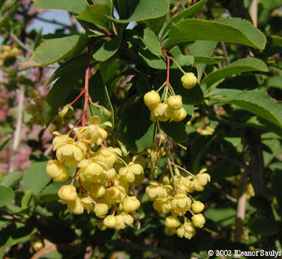 agracejo Berberis vulgaris