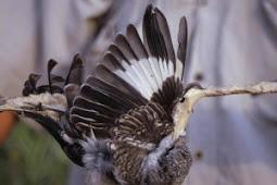 Cara Menangkap Burung Liar