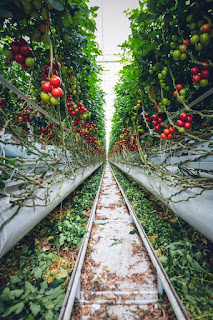 https://1.bp.blogspot.com/-qdeCBR-zkgA/XxU4d2hRFzI/AAAAAAAAP0I/0Uy1nfn2Mfw5GfQ27Lxw53DCVRE_MATigCLcBGAsYHQ/s320/food-healthy-landscape-tomatoes-2818573.jpg