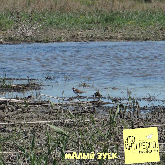 малый зуек на озере Кызыл Яр