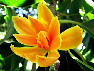 Gambar Bunga Cempaka 1