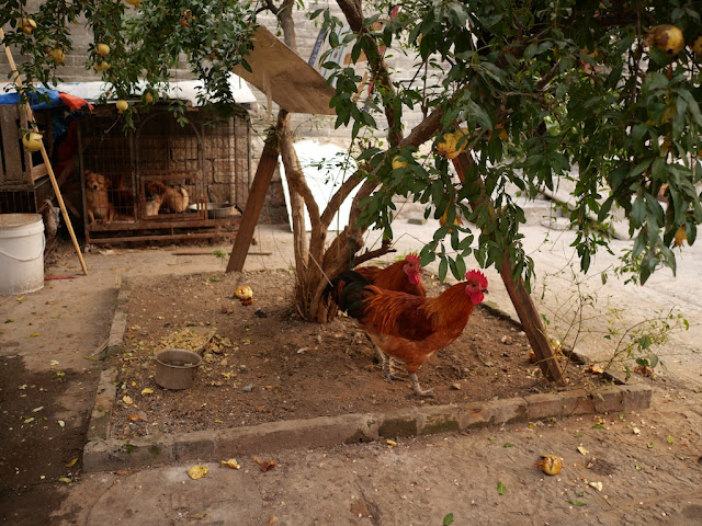 two chickens tethered to a tree