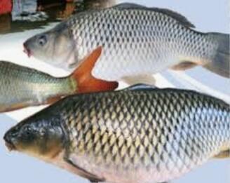 Umpan Pancing Ikan Mas Terlengkap 2019 Racikan Umpan Mancing Ikan Mas Babon Juara
