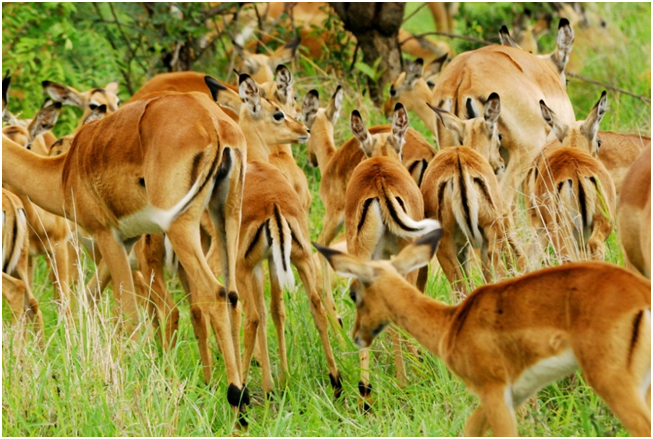 impala, wildlife, south africa, travel