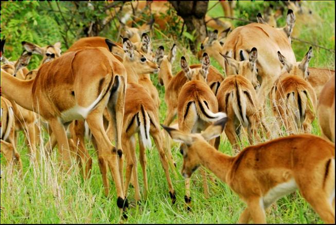 impala, wildlife, south africa, travel